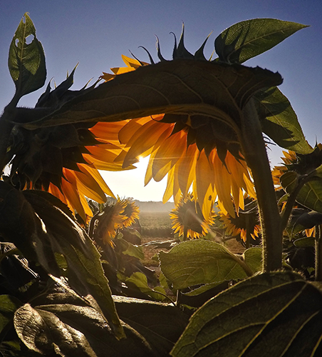 Sunflowers with light streaming in between them.